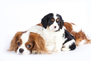 bigstock-Litter-of-Cavalier-King-Charle-29273636