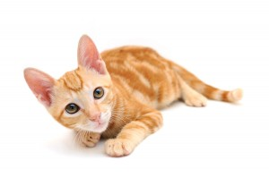 bigstock-Orange-Tabby-Kitten-3686977