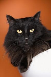 Black fluffy cat.