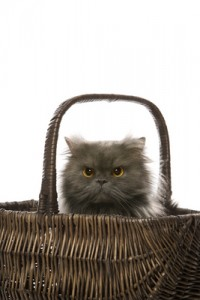 Gray Persian cat in basket.