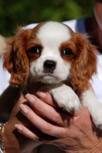 King Charles Pup