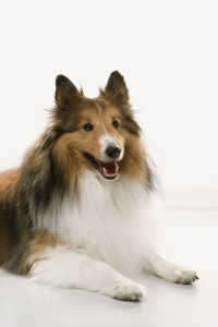 Collie dog on white background.