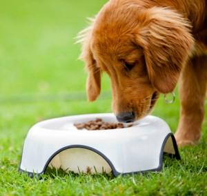 Dog eating his food