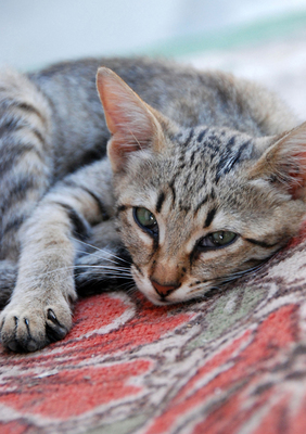 gray tabby on rug
