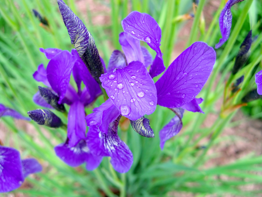 iris flower with water drops