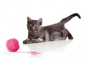 British cat playing red clew or ball isolated