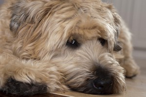 Wheaten Terrier Portrait