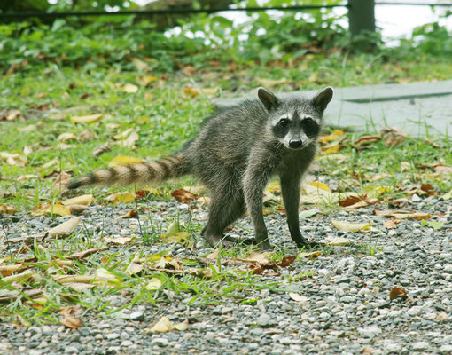 young raccoon posing in the middle of the jungle