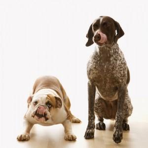 Bulldog and Pointer dog.