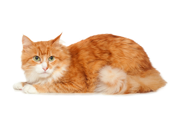 Beautiful fluffy red cat. Isolated on white